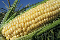 A mature ear-of-corn from a corn farmer